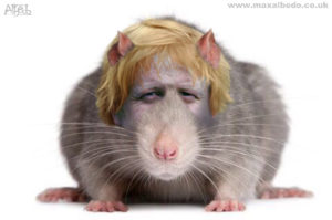 Boris rat copy